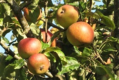 Coxes Orange Pippin apples on tree