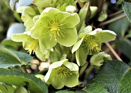 Lime green flowers of Corsican hellebore