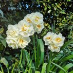 Multiheaded double narcissus
