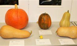 Class 8:  Pumpkin or Squash